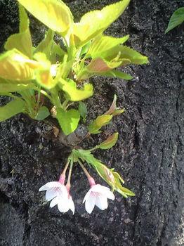葉桜と桜CA3A0529.jpg